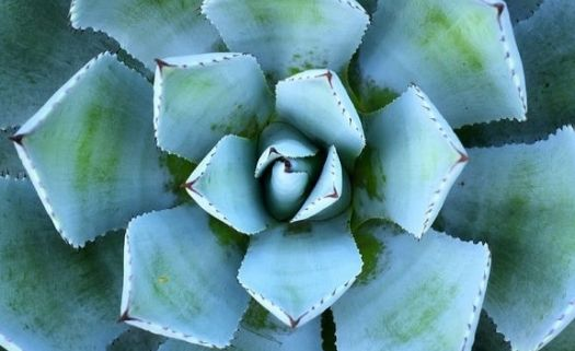 23199437-sharp-pointed-agave-plant-leaves (1).jpg